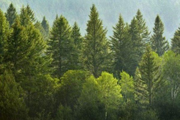 pinos