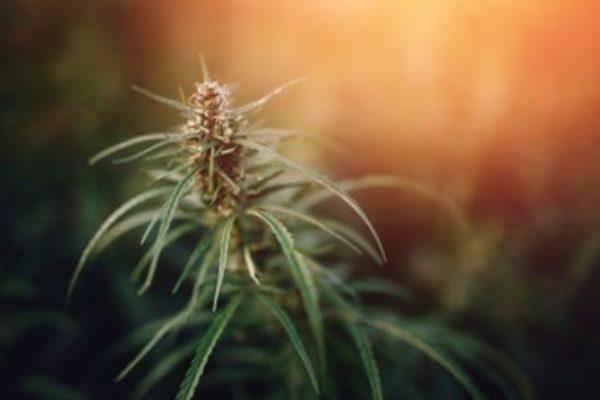 el hemp planta